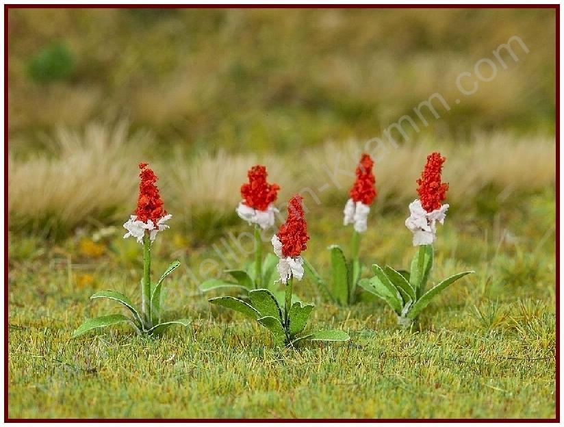 H0 32 Orchideenprimeln